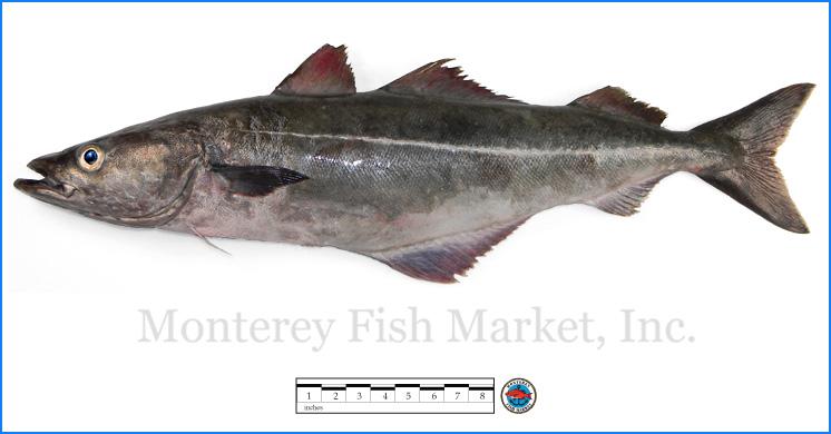 Monterey Fish Market Seafood Index photograph of Atlantic Pollock,  Pollachius virens
