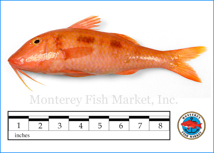 Monterey Fish Market Seafood Index photograph of Rouget,  Millus barbatus  (Red Mullet, Goat Fish)