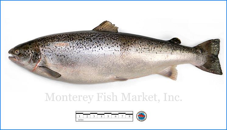 Monterey Fish Market Seafood Index photograph of Atlantic (farmed) Salmon,  S  almo salar
