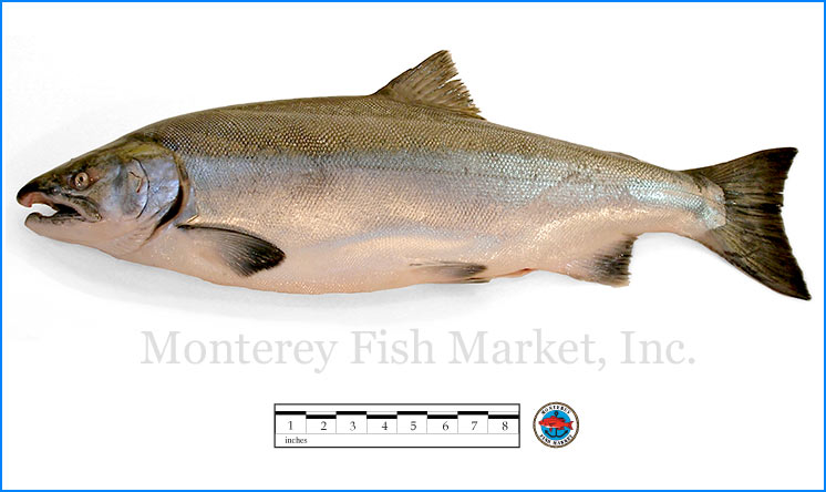 Monterey Fish Market Seafood Index photograph of Coho Salmon,  Oncorhynchus kisutch