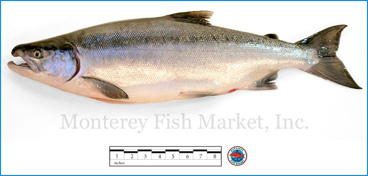 Monterey Fish Market Seafood Index photograph of Sockeye Salmon,  Oncorhynchus nerka
