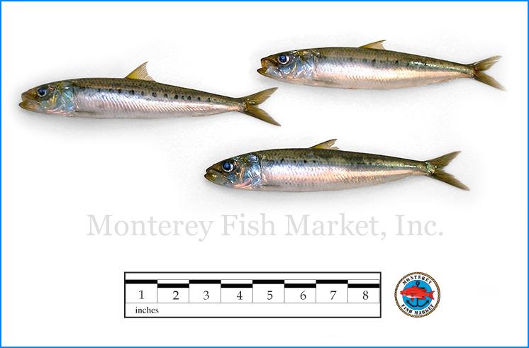 Monterey Fish Market Seafood Index photograph of Sardine,  Sardinops sagax caerulea