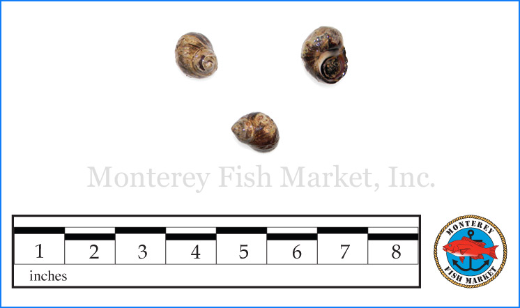 Monterey Fish Market Seafood Index photograph of Periwinkle,  Littorina littorea