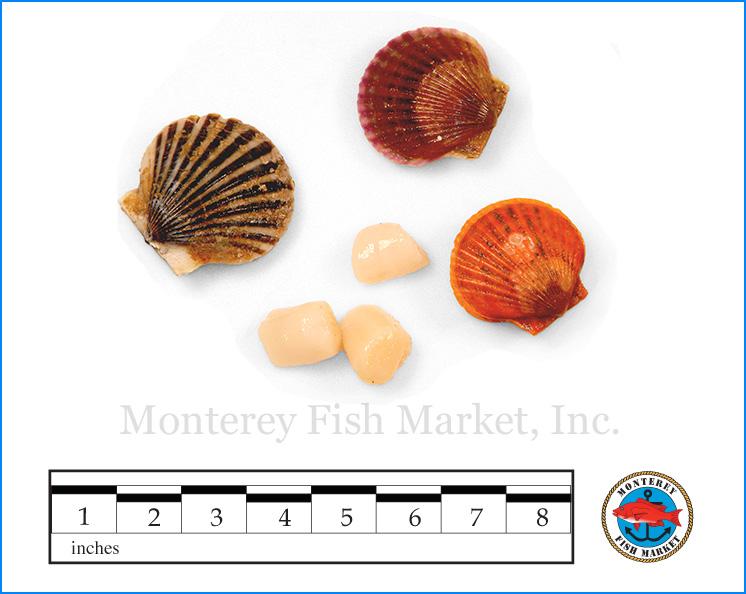 Monterey Fish Market Seafood Index photograph of Bay Scallops,  Argopecten irradians