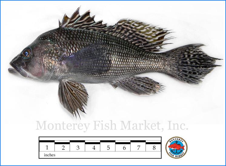 Monterey Fish Market Seafood Index photograph of Black Sea Bass,  Centropristis striatas