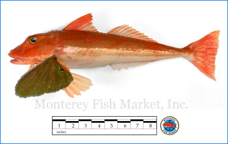 Monterey Fish Market Seafood Index photograph of Southern Sea Robin,  Chelidonichthys kumin  (Bluefin Gurnard)