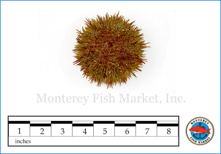 Monterey Fish Market Seafood Index photograph of Green Sea Urchin,  S  trongylocentrotus droebachiensis  (Uni)
