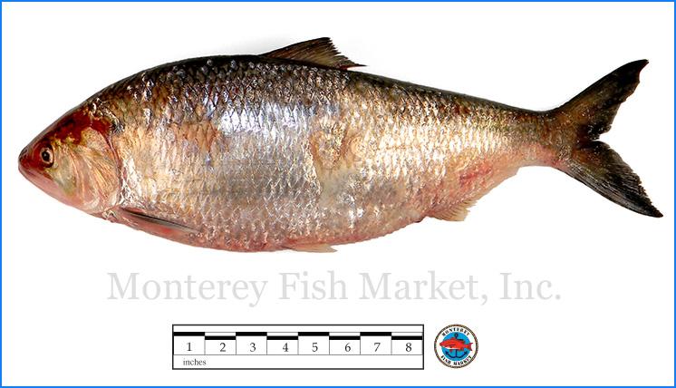 Monterey Fish Market Seafood Index photograph of Shad,  Alosa sapidissima