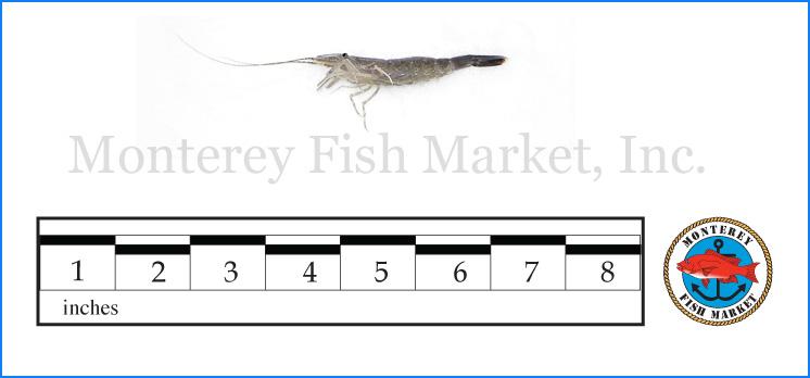 Monterey Fish Market Seafood Index photograph of Grass Shrimp,  Crangon franciscorum