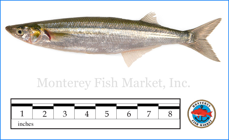 Monterey Fish Market Seafood Index photograph of Top Smelt,  Atherinops affinis  (Silversides)
