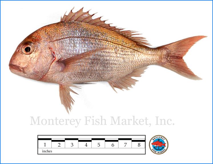 Monterey Fish Market Seafood Index photograph of Tai Snapper -  Pagrus auratus