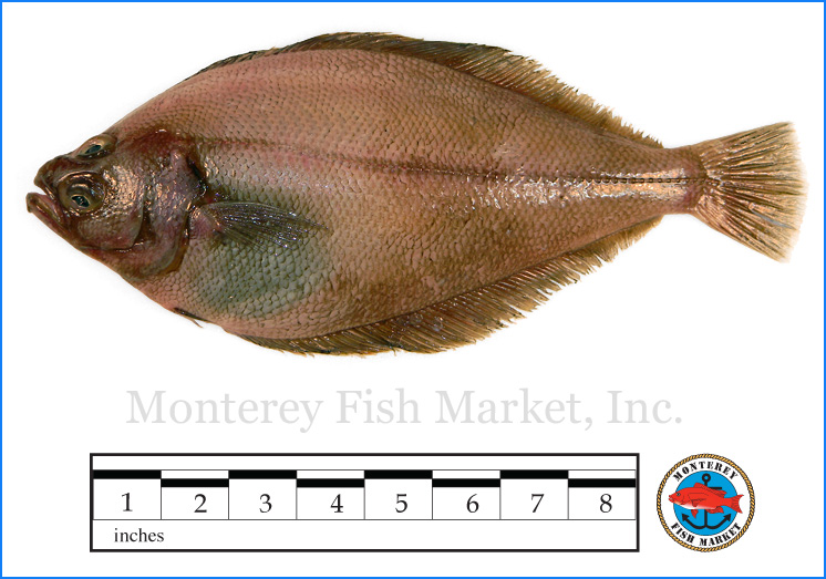Monterey Fish Market Seafood Index photograph of Sand Dab -  Citharichthys sordidus