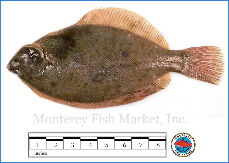 Monterey Fish Market Seafood Index photograph of Dab Flounder -  Hipplglossiodes platessoides