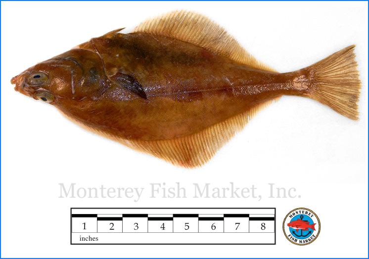 Monterey Fish Market Seafood Index photograph of English Sole -  Parophrys vetulus platessoides
