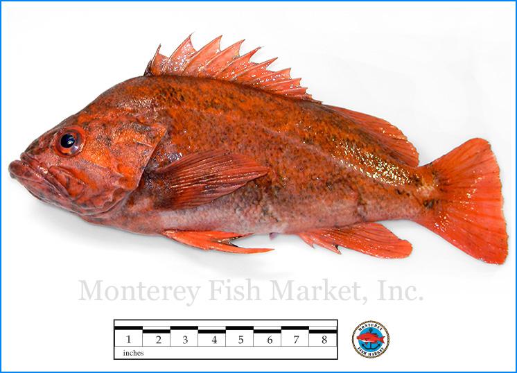 Monterey Fish Market Seafood Index photograph of Vermillion Rock Fish -  Sebastes miniatus