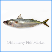 American Mackerel
