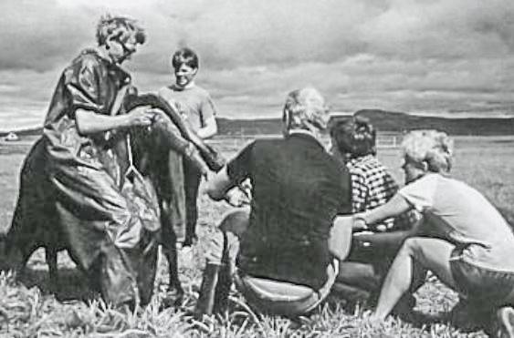 Kálfur dreginn úr kú við Birtingaholt í Hrunamannahreppi (mynd úr Litla Bergþór)