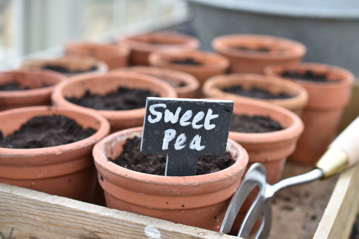 Sarah Raven Sweet Pea Seeds