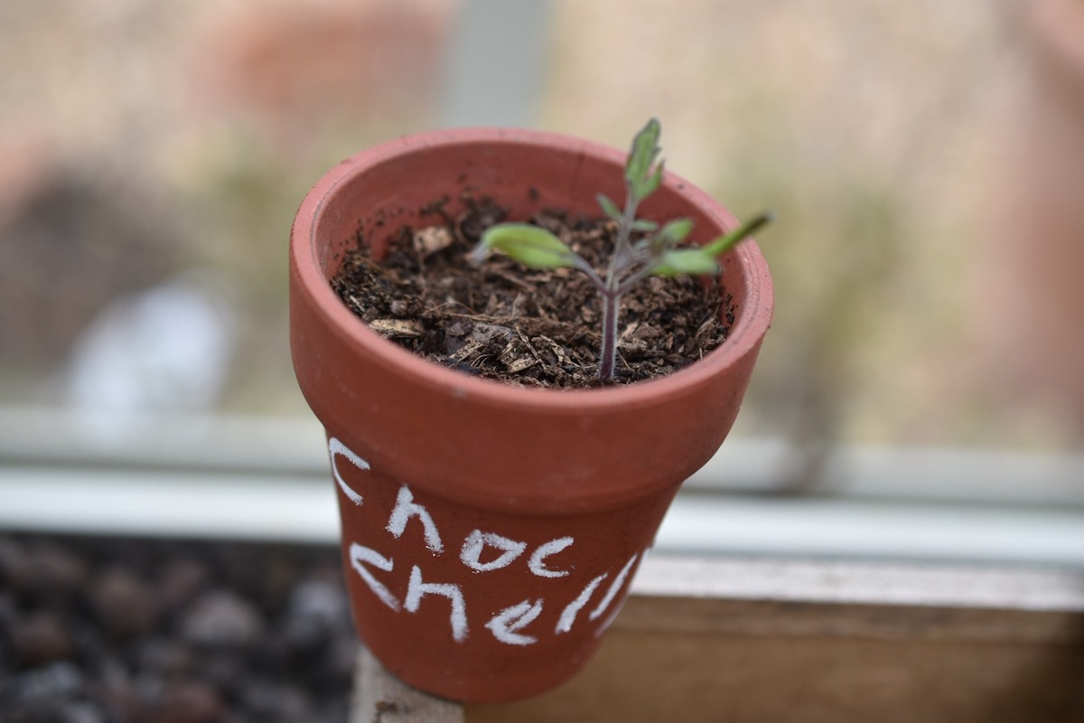 A tomato seeding - I know this because I labelled it!