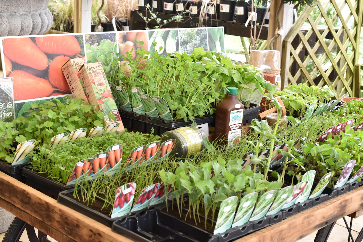 You can cheat if you like buy buying seedling veg plants. Check out the lovely collection of junior veg at our plant centre.