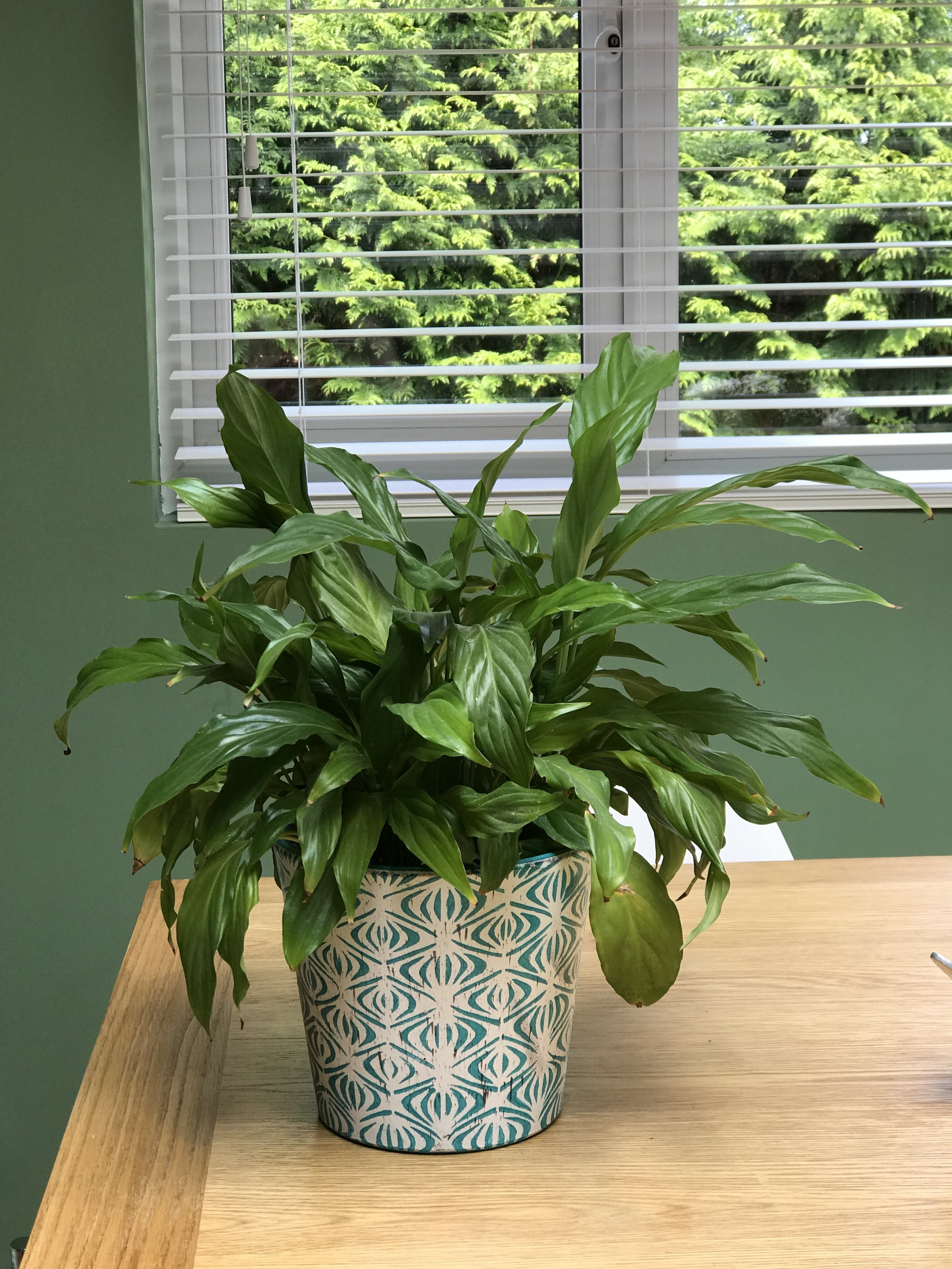 """Peace Lily that is refusing to """"flower"""" at the moment"""