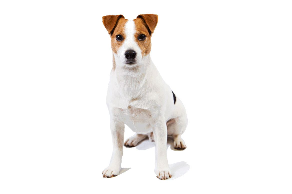Jack-Russell-Terrier-Transparent-Images.png