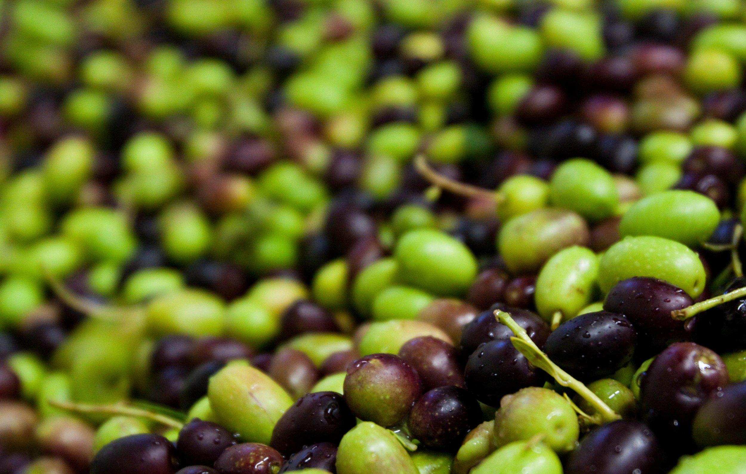olives 2009.JPG