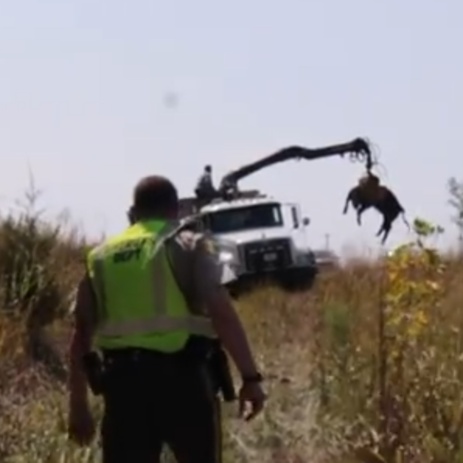 Deceased steers are loaded into a dump truck after  The Liber8ed  accident.