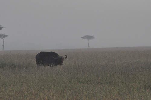 Water buffalo at dawn on the Masai Mara. Get ready for a basically endless stream of safari content.