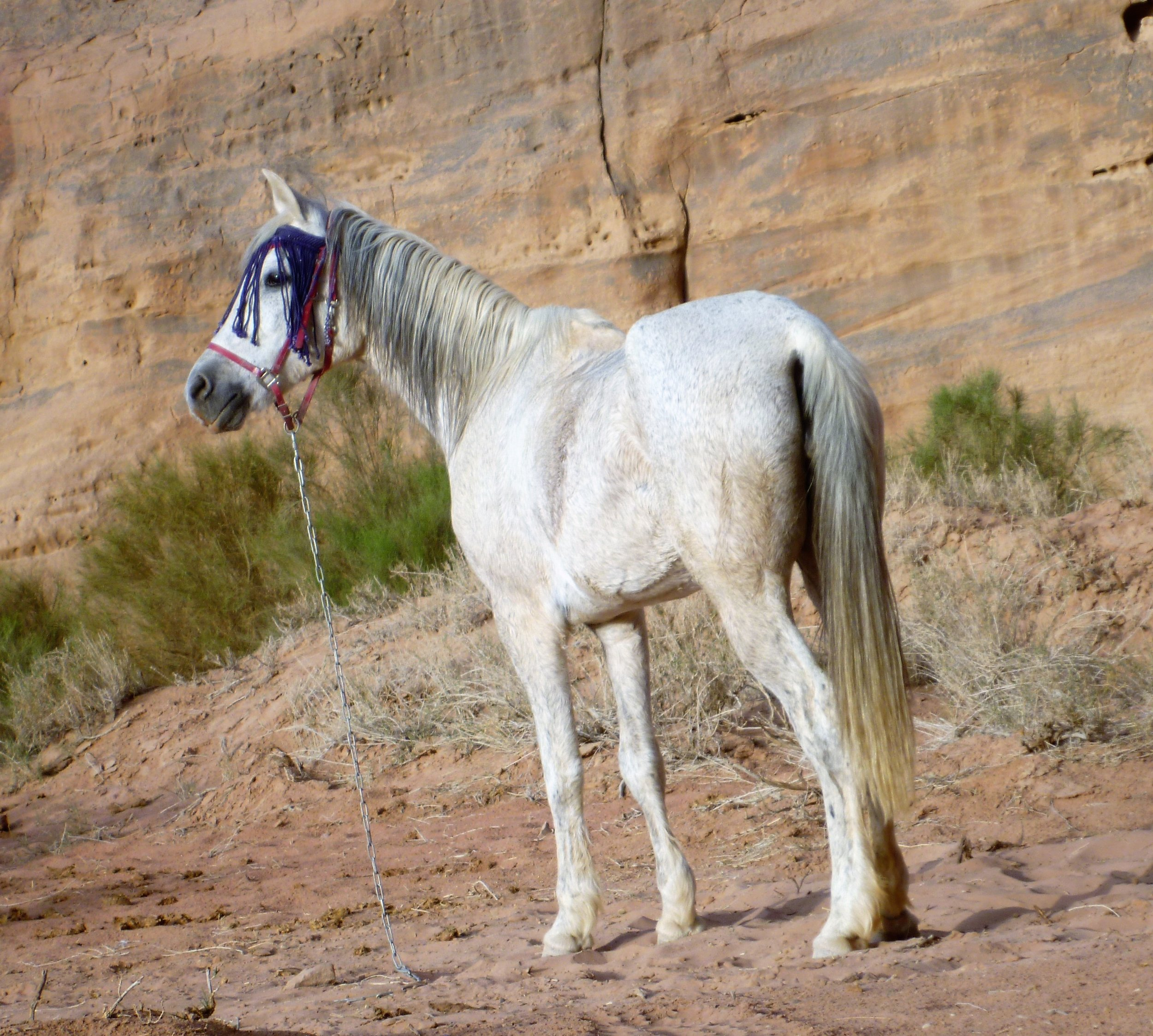 Indy - Year of birth: 2000This lady is a pro, she's not the youngest anymore but she has energy for 10 and she's a tough cookie. In her younger years she successfully ran multiple 120 km endurance races in Jordan.She is by far Eid favorite horse but if you're a good rider who can handle some serious horse power he might let you ride her :-)
