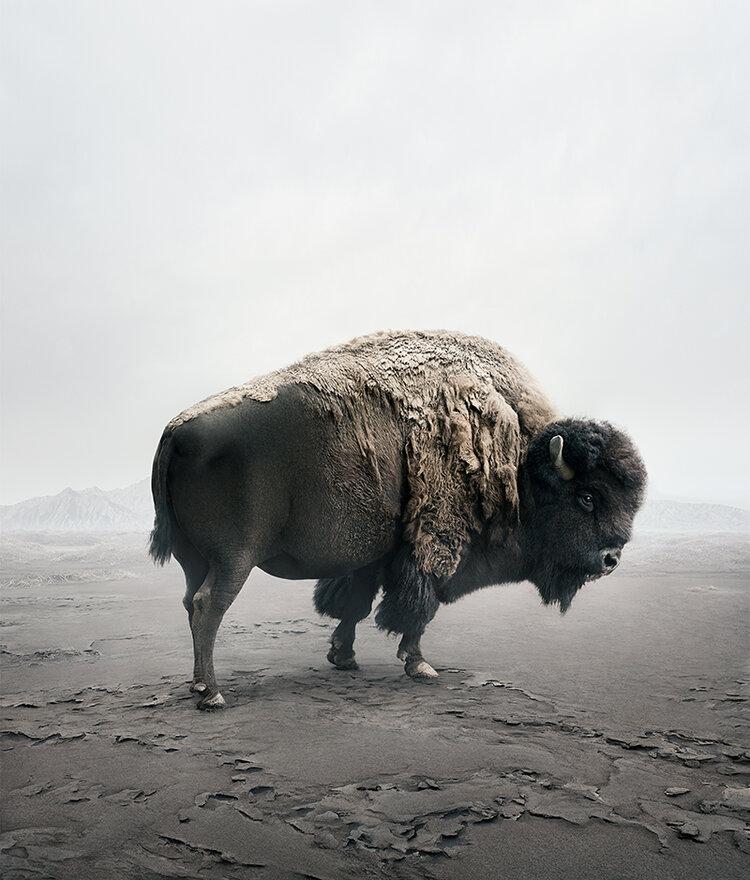bison_40by47.jpg