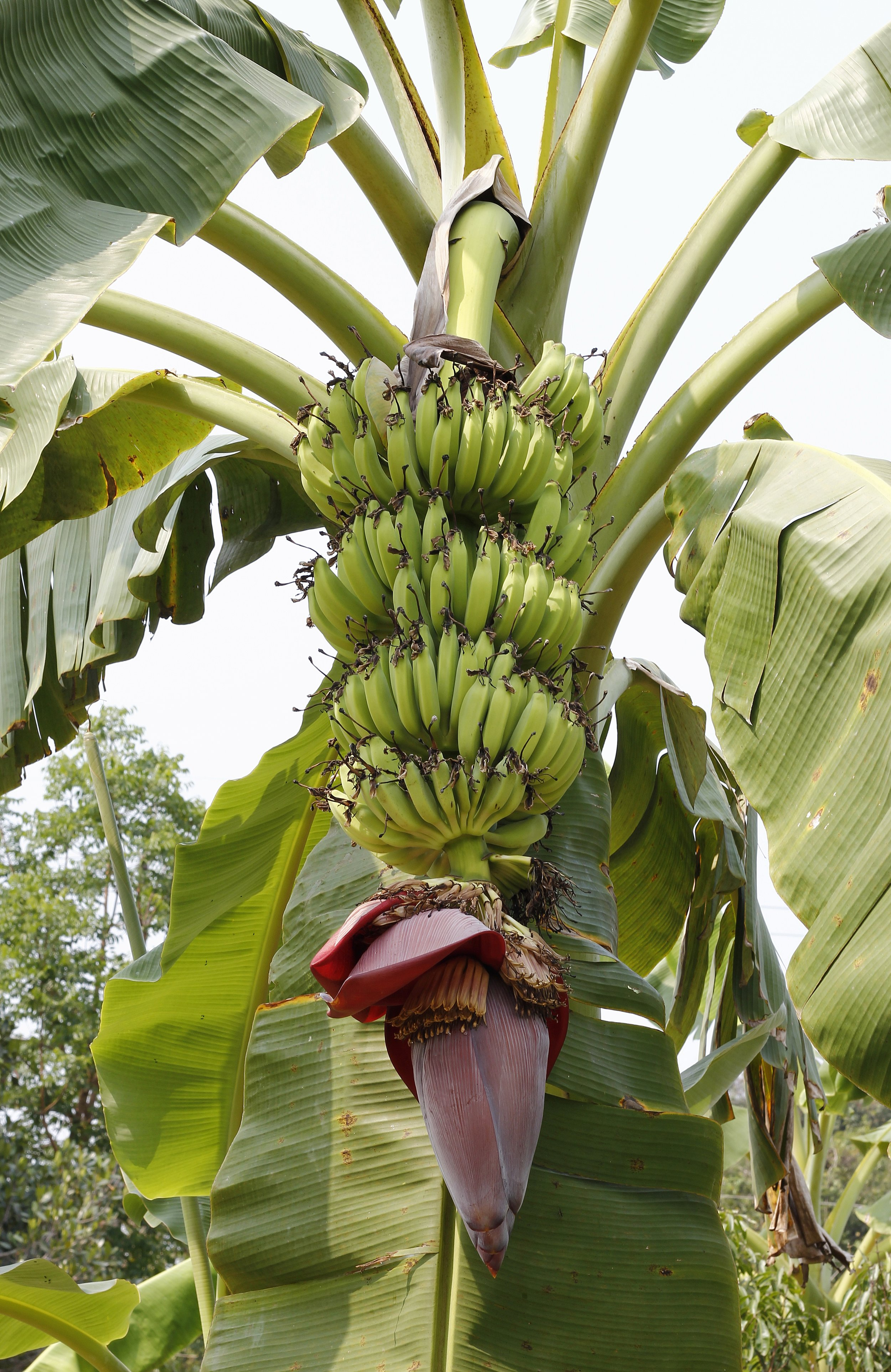 About the Plantain  - According to Fruit and Veggies - More Matters -- a health inititative spearheaded by the Produce for Better Health Foundation in conjunction with the Center for Disease Control & Prevention (CDC) -- the plantain is actually. . . a fruit!Similar to the tomato, which is a fruit consumed as a vegetable, the plantain is also consumed as a vegetable.The plantain (Musa paradisiaca) is a tall plant which can grow from 10 to 33 feet high. It has a cone-shaped false