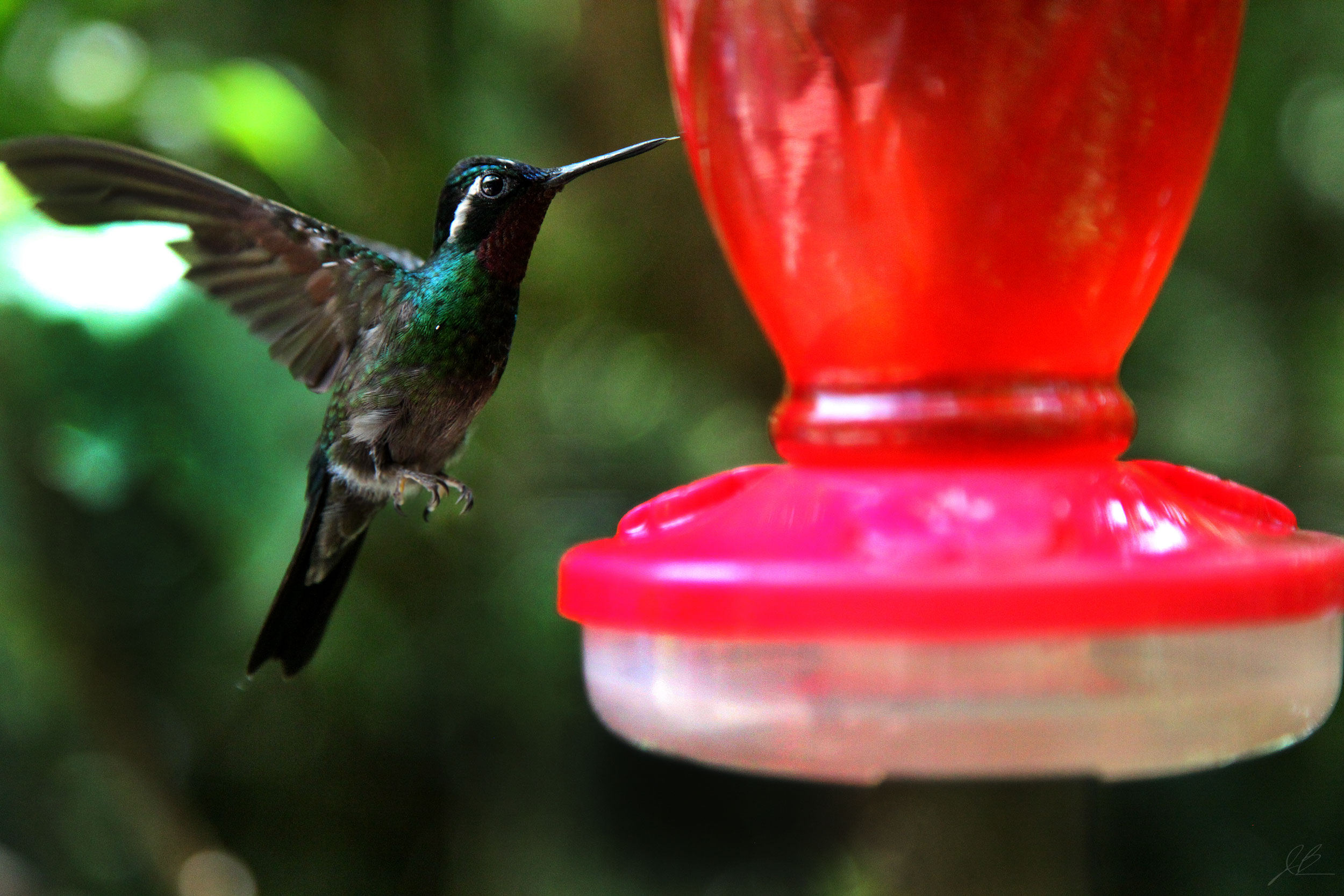 hummingbird-1-edit-.jpg