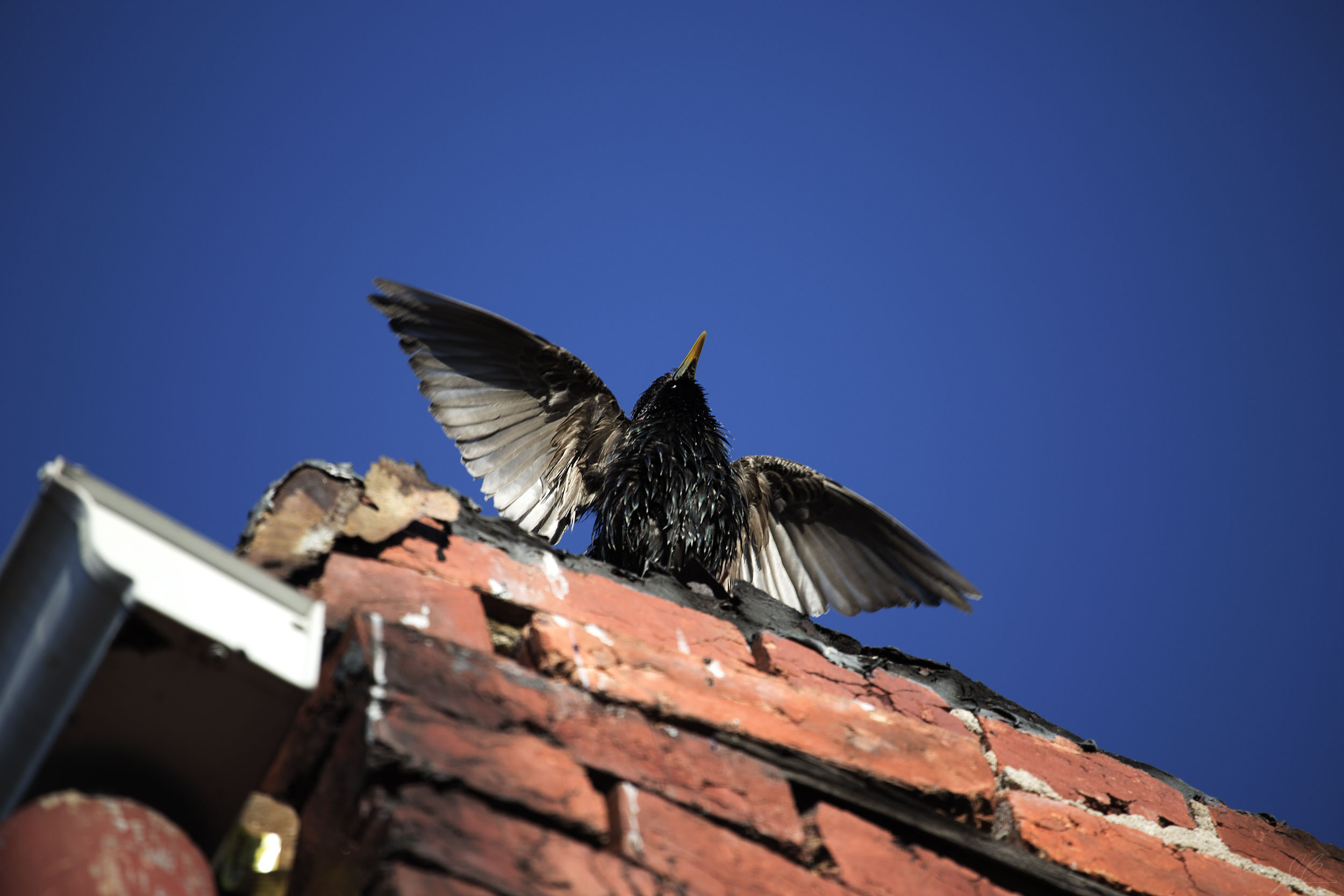 starling-wings-open-2-copy.jpg