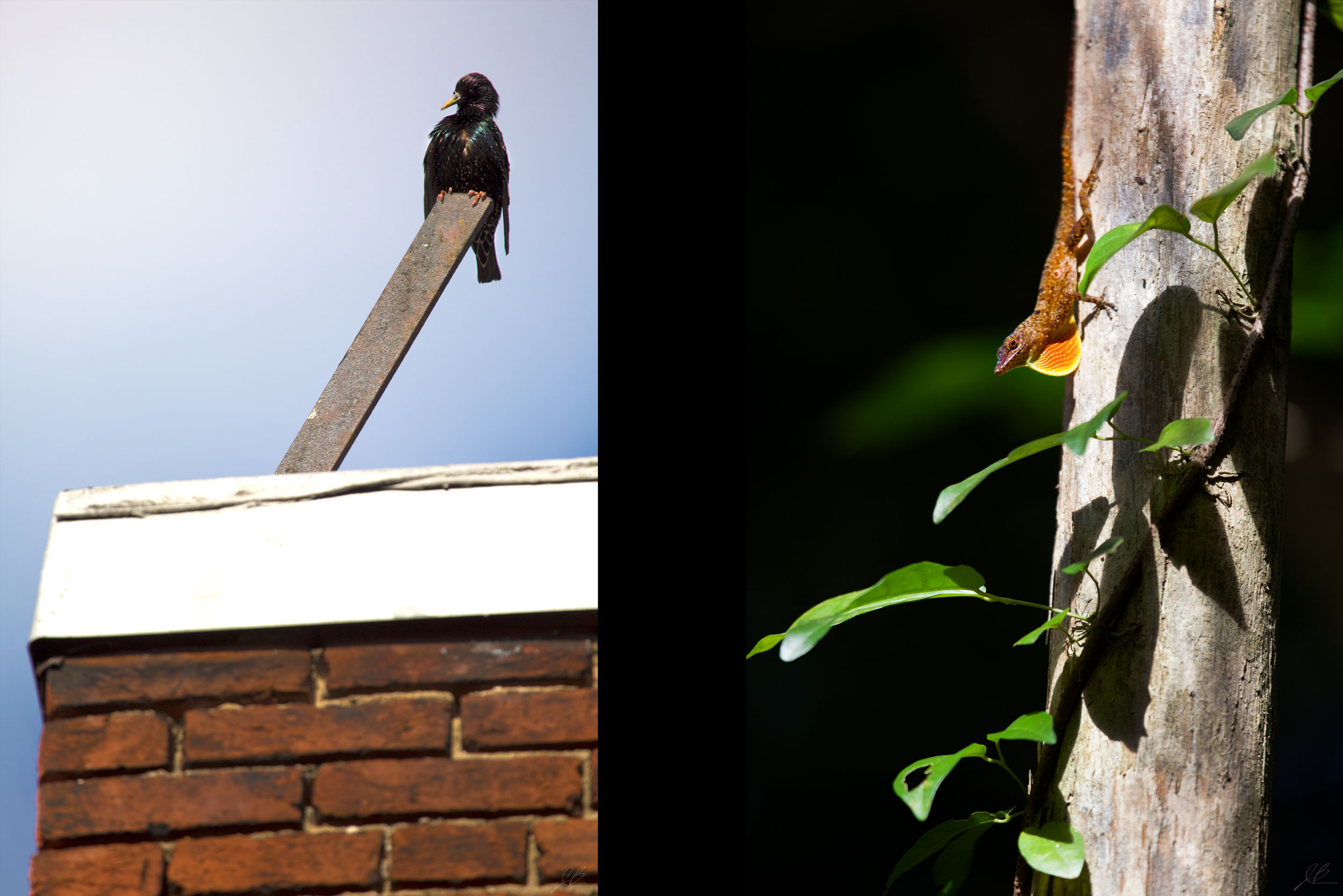 starling_gecko.jpg