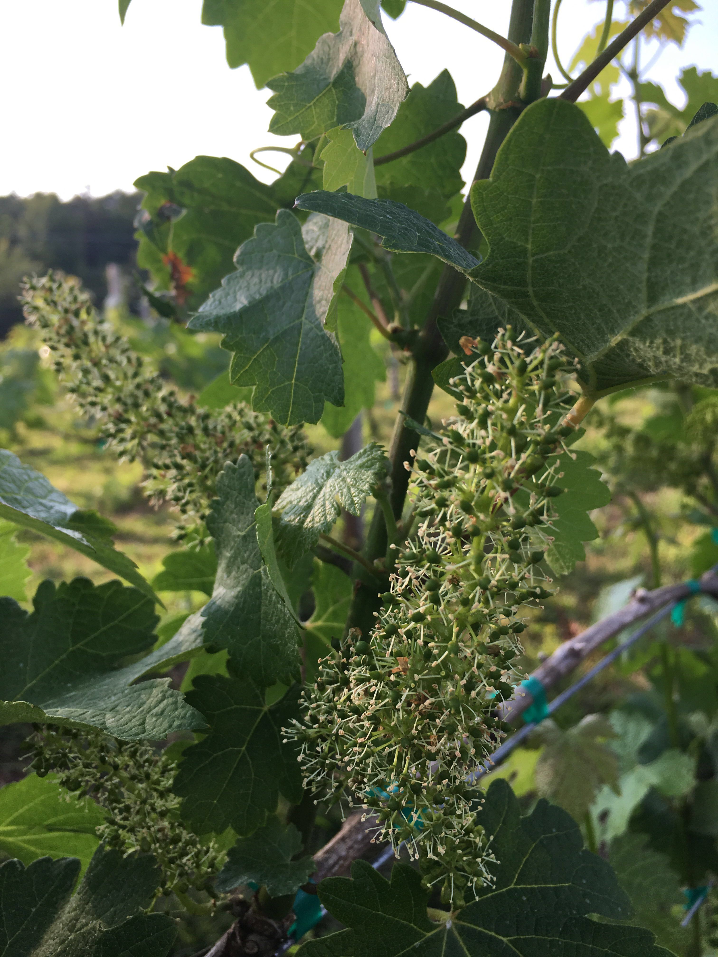 Cabernet Sauvignon in bloom. Tiny flowers, mighty flavors.