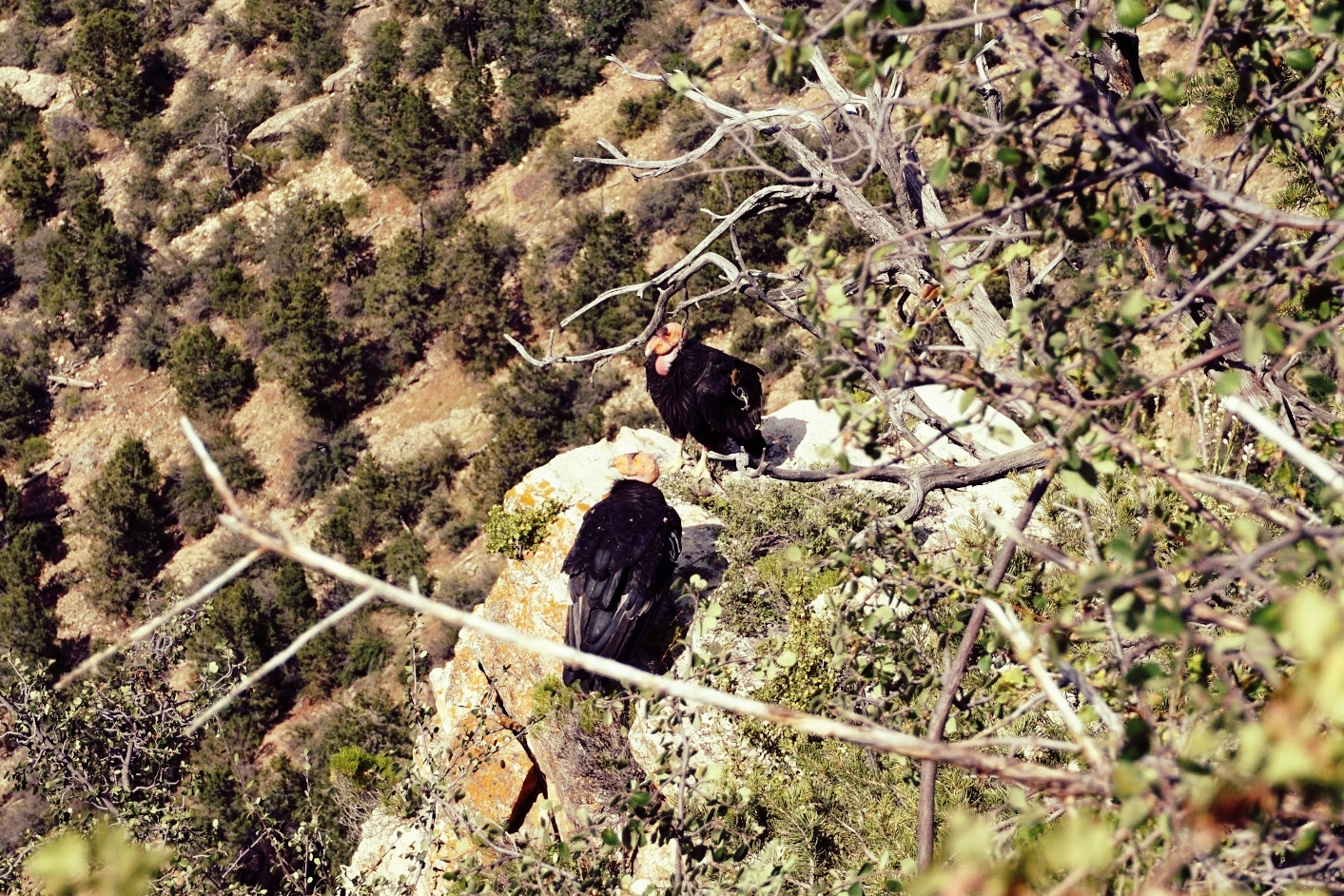 The California Condor is one of the rarest bird species in the world.
