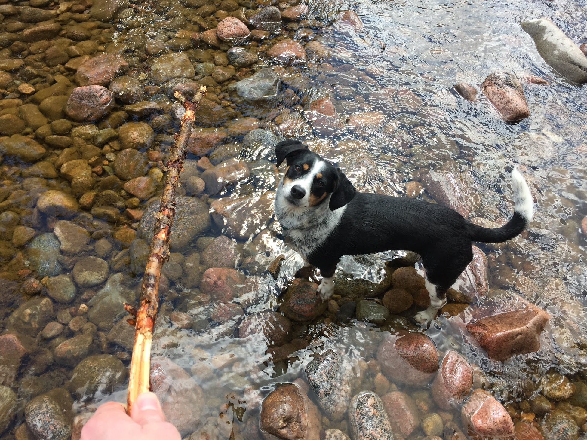 Our Dog Athena Playing in Gore Creek.