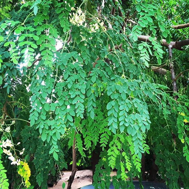 Green green moringa leaves, stay close to me! Look at this fresh bunch. So green.