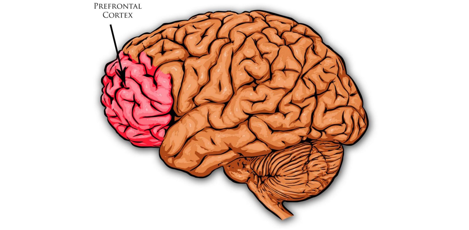 Prefrontal Cortex © Mdf, CC-BY-SA 3.0