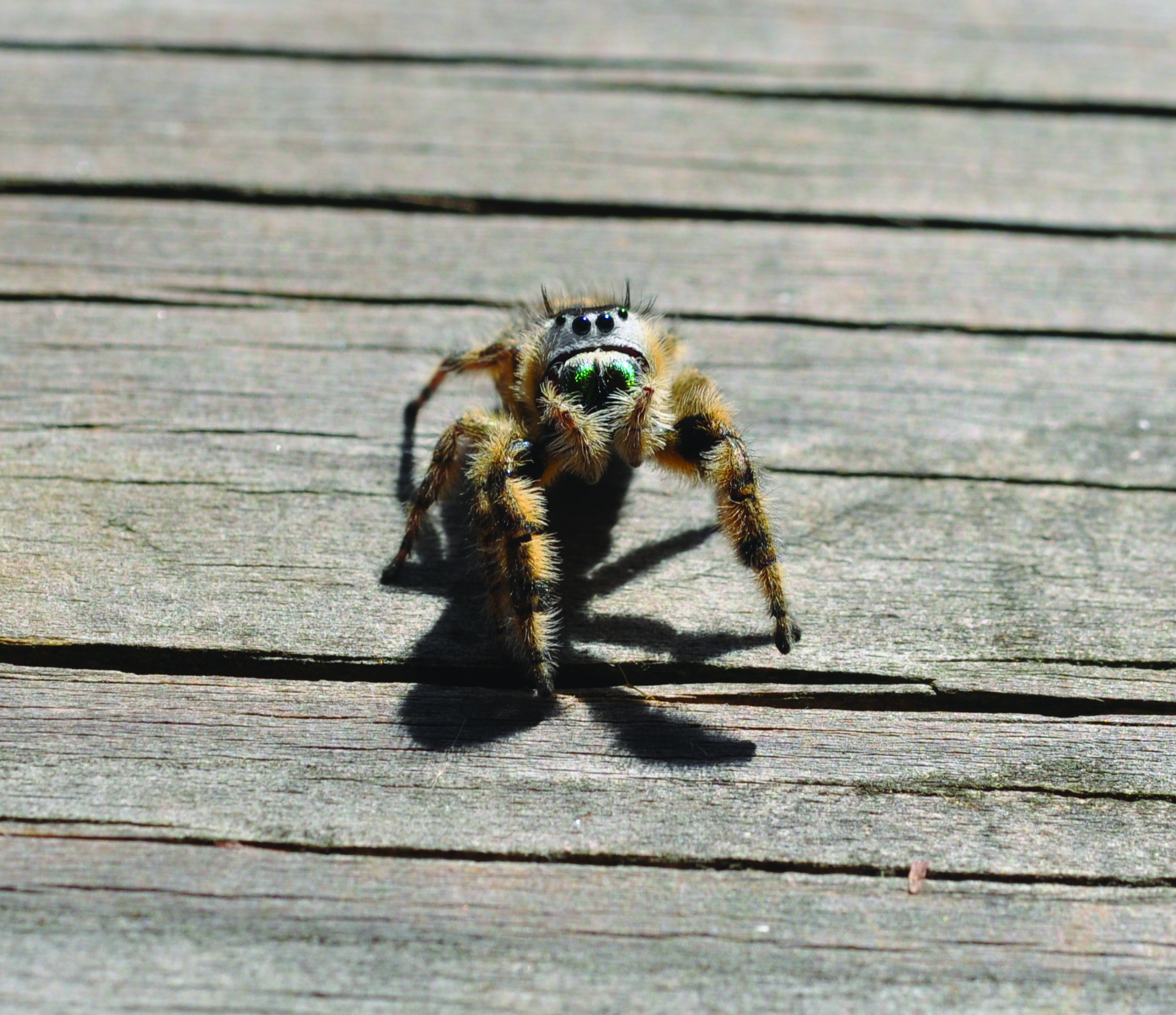 Canopy Jummping Spider - Phidippus otiosus (female) (2).jpg
