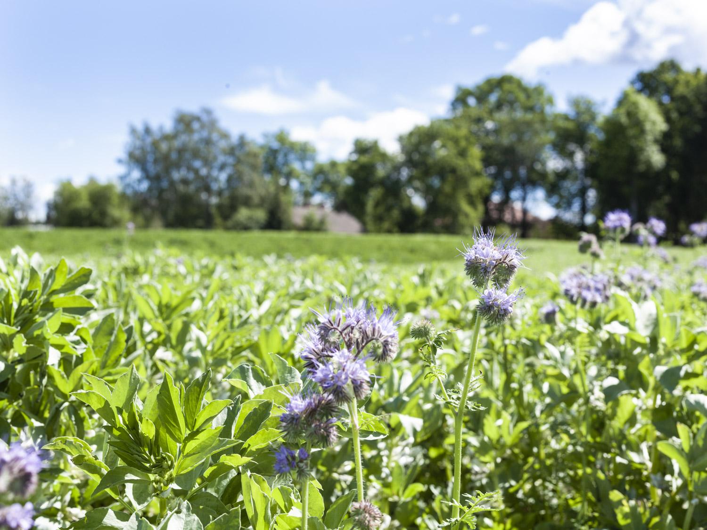 Honningurt i åkerbønnene for å fôre pollinerende inntekter og øke biodiversitet.