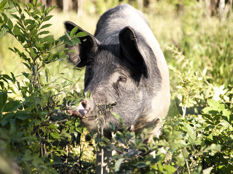 Frilanndsgris få på skogsberiter og spiser røtter