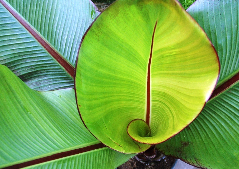 banana plant - tropical plant.JPG