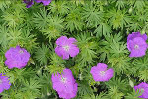 geranium new hampshire purple.jpg