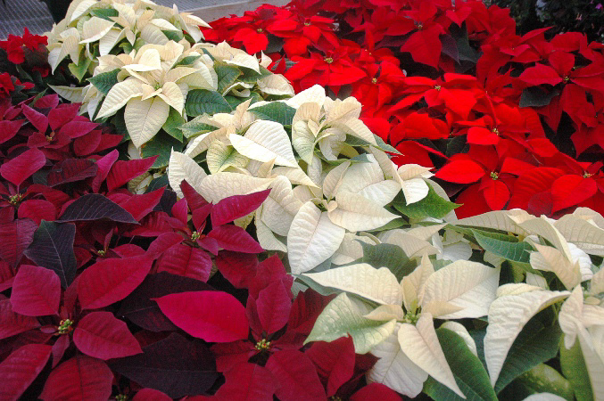 poinsettias 009a.jpg
