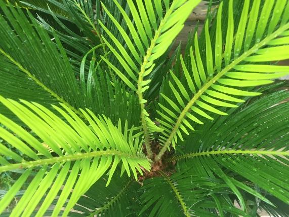 king sago palm 4.JPG
