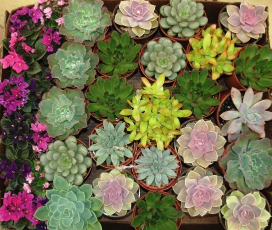 succulents and violets.jpg
