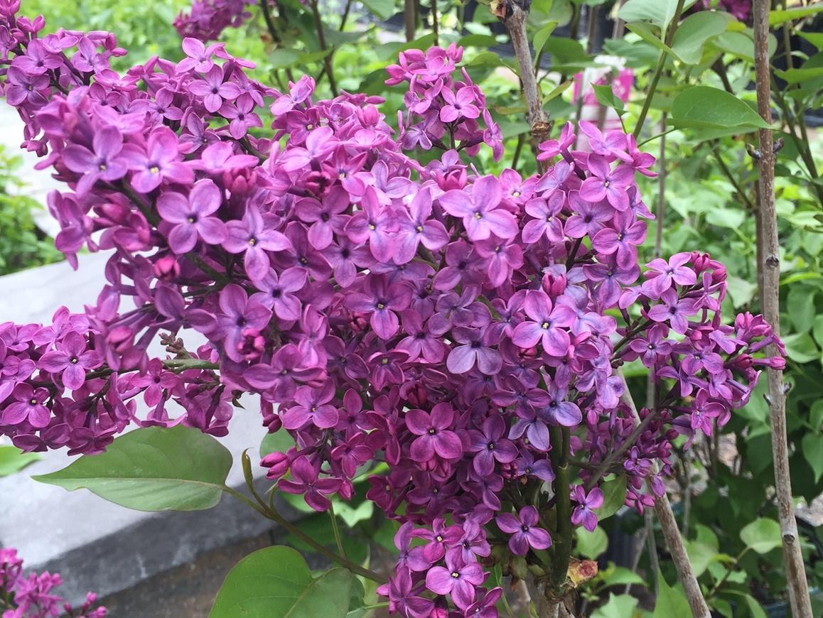 lilacs may 1.jpg