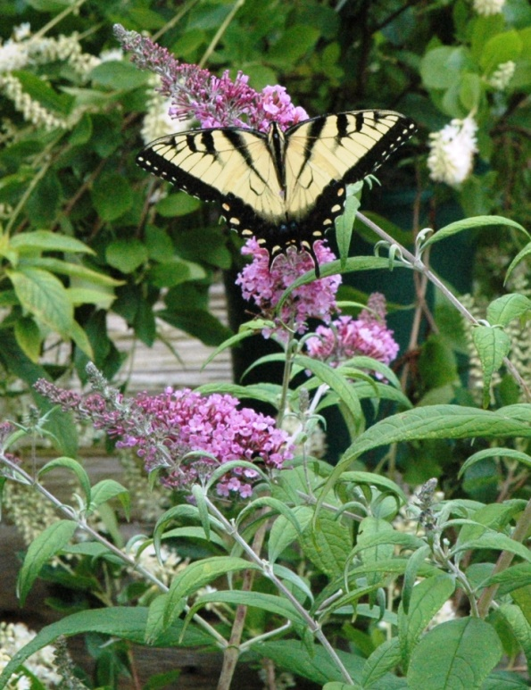 butterfly on buddleia.jpg